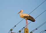 Powerful Stork