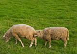 Shameless Sheep