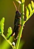 Green Cricket