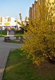 Forsythia Blooming For Easter