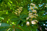 Double Chestnut Tree Blossom