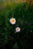 Smiling Marguerite Daisies