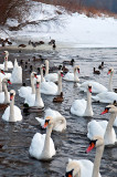 Swans On Winter River