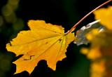 Leaf In Yelow