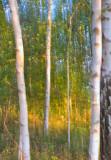 Birch Grove In Dreams