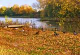Ducks Will Stay