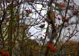 Raindrops, Rosehips And A Tit