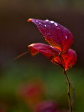 Raindrops On Red