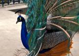 Peacock's Dance