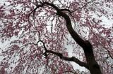 Cherry tree in Haradani-en Kyoto @f4 D700
