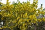 Golden chain @f5.6 D700