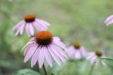 Echinacea 5D