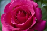 A rose 5D