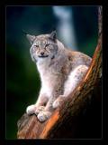 Lūšis - Lynx lynx - Eurasian Lynx