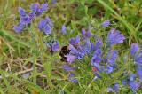 Meadow Bumblebee