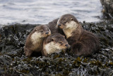 Shetland Otters by Brydon Thomason  &  Peter Zwitser  www.shetlandnature.net