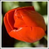 Tulip springtime