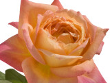 Roses I Grow