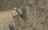 Red-footed Falcon - female