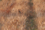 Partridge - female [record shot]