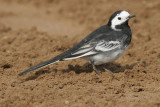Pied Wagtail - male