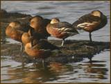 Wandering Whistling Duck   (Dendrocygna arcuata).jpg