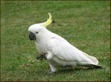 Sulphur-crested Cockatoo   (Cacatua gallerita).jpg