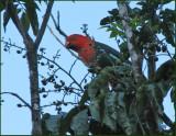 Australian King-parrot   (Alisterus scapularis).jpg