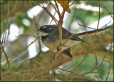 Grey Fantail   (Rhipidura albiscapa).jpg