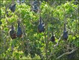 Grey-headed Flying Foxes.jpg