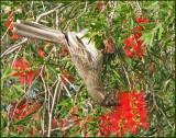 Red Wattlebird   (Anthochaera carunculata).jpg