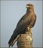 Black Kite   (Milvus migrans).jpg