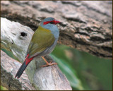 Red-browed Finch   (Neochmia temporalis).jpg