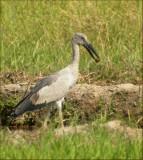 Asian Open-bill Stork   (Anastomus oscitans).jpg