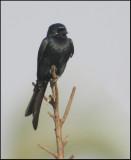 Black Drongo   (Dicrurus macrocercus).jpg