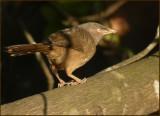 Jungle babbler    (Turdoides striatus).jpg