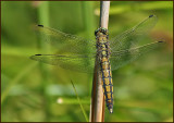 Black-tailed Skimmer female.jpg