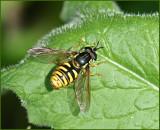 Swedish Hoverflies, Blomflugor, Syrphinae