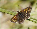 False heath fritillary, Sotnätfjäril   (Melitaea diamina).jpg