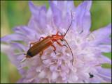 Soldier Beetles, Flugbaggar (Cantharidae)