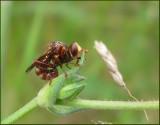Conopid Flies, Stekelflugor  (Conopidae)