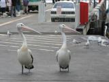 Australian Pelicans looking left.jpg