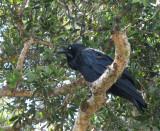 Australian Raven   (Corvus coronoides).jpg
