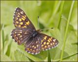 Swedish Metalmark Butterflies (Riodinidae)