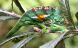 REPTILE - CHAMELEON - CALUMMA PARSONII - PARSON'S CHAMELEON -  MANTADIA NATIONAL PARK MADAGASCAR (25).JPG