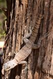 REPTILE - LIZARD - OPLURUS CYCLURUS - MADAGASCAR IGUANID - KIRINDY NATIONAL PARK - MADAGASCAR (2).JPG