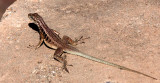 REPTILE - LIZARD - OPLURUS SAXICOLA - MADAGASCAR ROCK IGUANID - ANDOHAHELA NATIONAL PARK MADAGASCAR.JPG