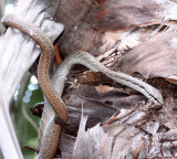 REPTILE - SNAKE - ITHYCYPHUS OURSI - FOREST NIGHT SNAKE - ANDOHAHELA NATIONAL PARK MADAGASCAR (6).JPG