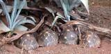 REPTILE - TORTOISE - ASTROCHELYS (TESTUDO) RADIATA - MADAGASCAR BOX TORTOISE - BERENTY RESERVE MADAGASCAR (7).JPG