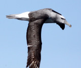 BIRD - ALBATROSS - SHY ALBATROSS - PLETTENBERG BAY SOUTH AFRICA (21).JPG